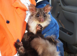 Spotter Catcher Possum